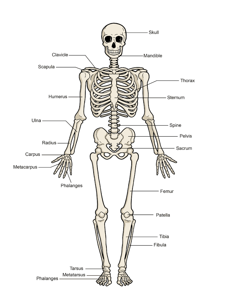 Science For Kids The Human Body The Skeleton The Resources Of